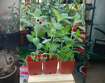 Holy Basil  plants, herbs, THREE display pots and nutrient soil blend too!