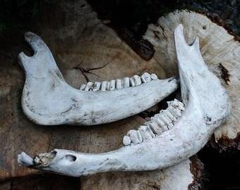 Cow Jaw Bone