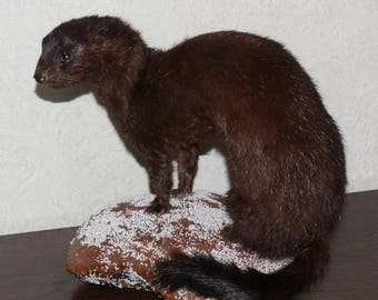 European Mink - Taxidermy Mount, Stuffed Animal For Sale - Weasel - ST3367
