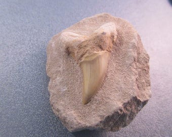 Fossil Shark Tooth Specimen 1pc