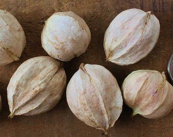 Organic 6 x Hickory Nuts Seeds Grow our own trees or can be eaten