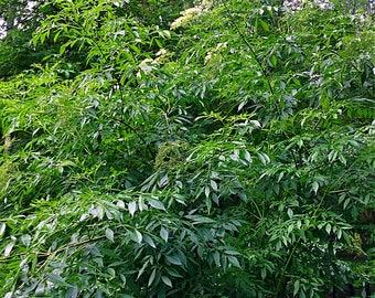 Black elderberry (Sambucus Nigra)