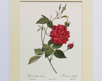SALE ITEMS Ex-Display Original 1920s Redoute Rose Print - Rosa Indica Cruenta Mounted Plate Roses Pink Roses Gardens Flowers Painting Rose