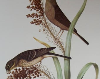 Old engraving original edition Larousse 1950 Bunting of reeds e. Schoeniclus bird Plumage feathers Yugoslavia Italy