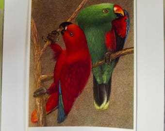 Antique engraving print 1960's birds of paradise Royal Lorikeet or Eclectus Parrot - Eclectus roratus Grand Eclectus Parrot Australia