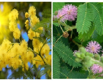 Yellow mimosa-Acacia Dealbata (10 seeds) OR Mimosa pudica-Sensitive Plant (15 seeds)