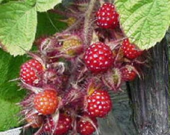 Wineberry ! Rubus phoenicolasius. Live plants, nice roots wrapped in wet chips
