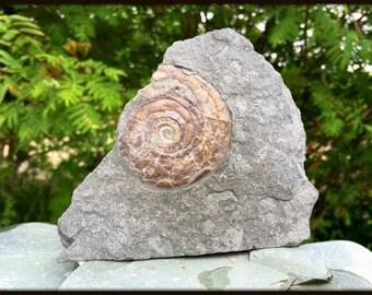 Psiloceras sp. Ammonite found in Somerset, UK - Jurassic Period - FST082