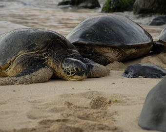 Hawaiian Sea Turtles on Ho'okipa Beach, Maui