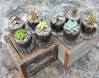 Succulents - Wedding Favours - Bomboniere - Baby Shower Gift