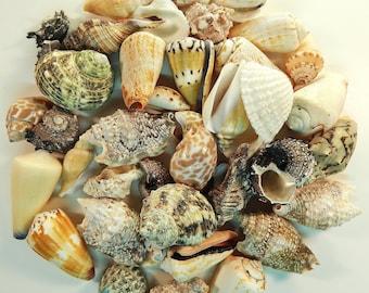 Shell Mix 1LB Med Size Seashells Crafting Supplies Lot