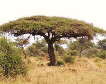 100 Seeds Acacia tortilis Seeds ,Umbrella thorn'Seeds