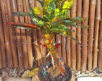 "Croton Batic Codiaeum Variegatum Growing in a 4"" Pot House Plant/Outdoor/Indoor/Garden/Patio"