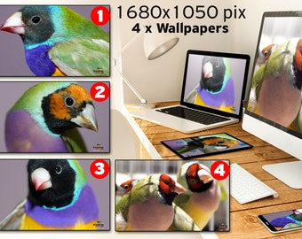 High resolution Photo Wallpapers x 4 with Gouldian finch mutations for your desktop computer, laptop or tablets