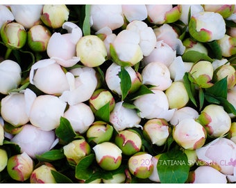 Peony photography White peony print Peony Instant download Flower photography White flower print Flower print Blush peony photo White peon