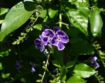Golden Dewdrop  Duranta erecta  150 Seeds