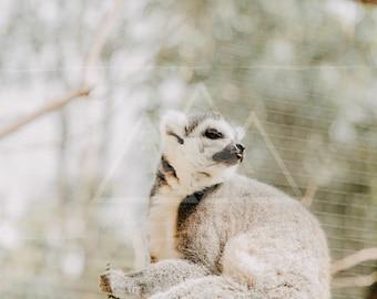 Lemur Blep