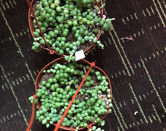 "String of Pearls in 6"" pots"