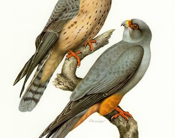 Vintage lithograph of the red-footed falcon or western red-footed falcon from 1958