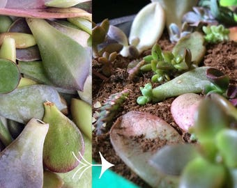 10 Succulent Leaf Cuttings for Propagation