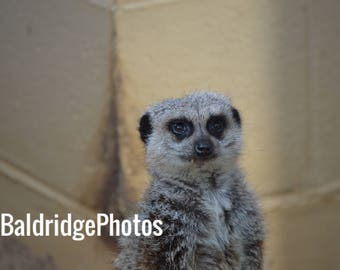 Meerkat closeup photo