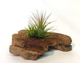 Driftwood airplant art