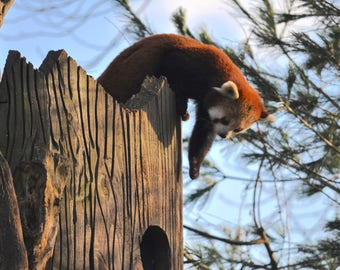 Red Panda Photography Print
