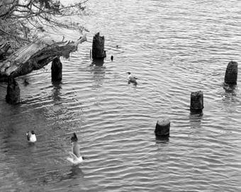 Birds In The Bay. Black and White Nature Photography Fine Art Print. Wall Decor.