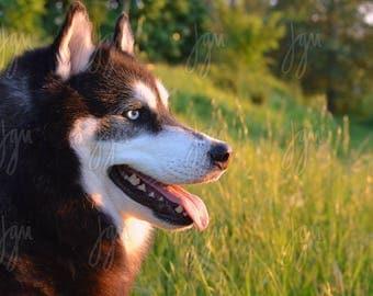 20X30 Photographic Enlargement - Siberian Husky at Sunset