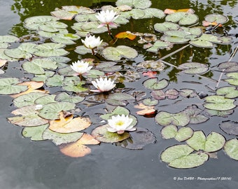 Zen and calm water lily flowers