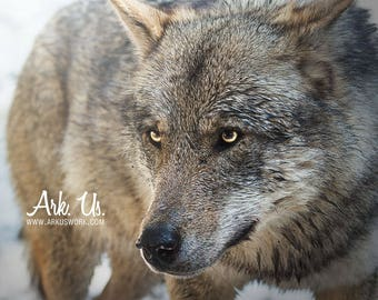 Poster portrait tight of a Grey Wolf with yellow eyes Europe 30 x 45 cm