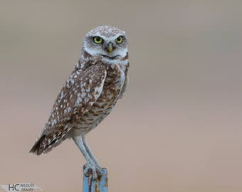 Burrowing Owl at Dusk: print, metal, canvas