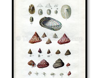 Shell Print Antique Reproduction. Plate XI from British Shells by Sowerby pub. 1859. Wall Decor for, Hamptons, Shabby Chic, Beach House