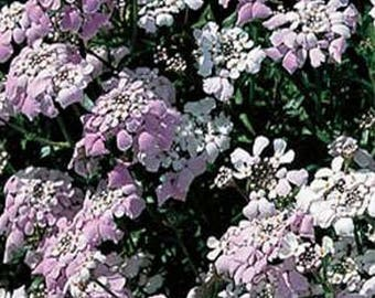 Candytuft- Iberis Gibraltarica- 50 Seeds