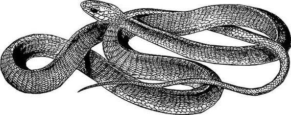 "vintage snake illustration printable wall art png jpg clip art Digital download graphics images digital stamp animal reptiles  3.9"" x 10"""