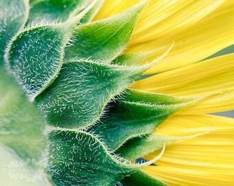Sunflower Photograph, Flower Photo, Wall Decor, Floral Print, Summer Garden, Photo of a Bloom, Petals, Fine Art Photography, Yellow, Green