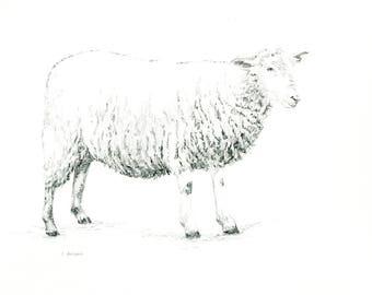 Original Hand Drawn Sheep Sketches 8 x 10