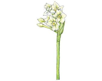 Watercolor Botanical Illustration, Narcissus, Art Print