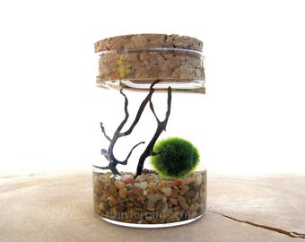 Stocking Stuffer - Marimo Moss Ball Terrarium Small Corked Jar, Several Colors / Gifts under Twenty Dollars