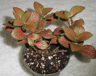 "Red Fittonia Verschaffetii ~ Nerve Plant   Mosaic plant - 4"" pot- Indoor House Plant"