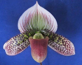 Lovely maudiae paph - ladyslipper orchid blooming size