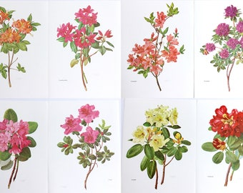 Rhododendron flower prints, Set of eight, Orange red pink yellow coral coloured flowers, C Rufil, Wall decor