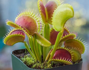 Venus flytrap seeds,161, flower, greek seeds, greek flowers, gardening,flytrap,