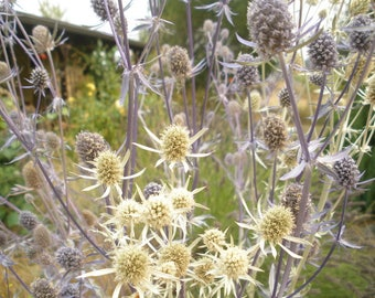 Dried seaholly stems-blue and silver- for boutonnieres or craft projects- DIY wedding supply