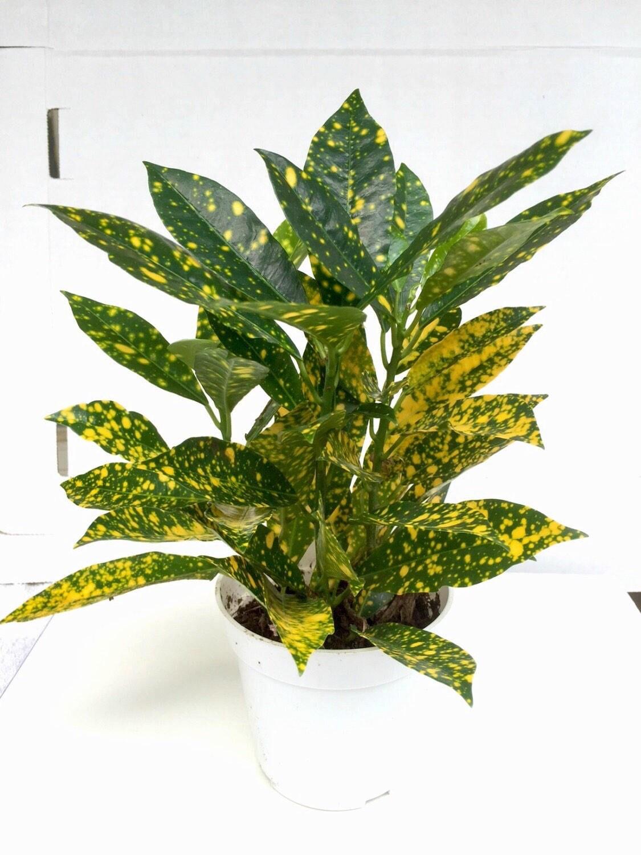 croton codiaeum variegatum tropical plant great fall color outdoor