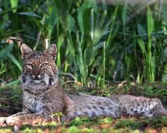 Bobcat Florida Wildcats Photography Lynx Rufus wildlife vertical photo