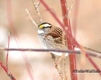 White Throated Sparrow Photo | Winter Bird Photography | Songbird Wall Art | Rose Pink Nature Decor | FeatherWindStudio | Sparrow Art Print