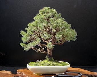 BONSAI - White Spruce
