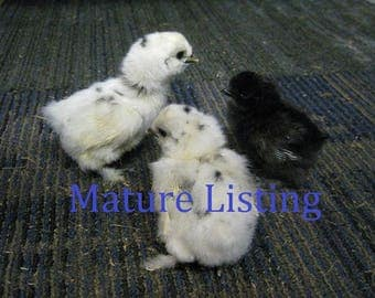 Wet Preserved Black Silkie Chick D