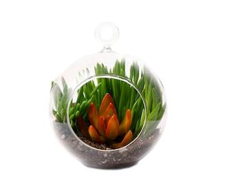 Succulent Terrarium: Orange Sedum